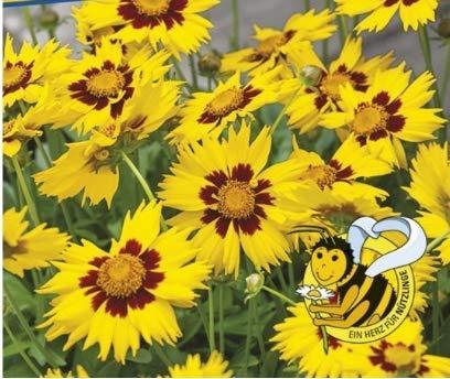 Qulista Samenhaus - 50pcs Rarität Mädchenauge 'Sunkiss' | Blumensamen Saatgut Mischung mehrjährig Winterhart für Kübel auf Terrasse und Balkon