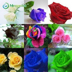 Graine 100PCS Fleur Rose Hollande Graine Amant Cadeau Orange Vert arc-en-RARE 24 couleur à choisir bricolage Home Gardening Flower