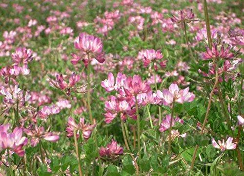 50 LECHE veza semillas de flores púrpura astrágalo sinicus rosa cubierta de tierra de leguminosas