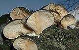 (10 g) otoño seta de ostra (Pleurotus salignus) El micelio esporas freza semillas secas