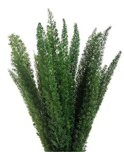 Decoflorales® - Konservierter Natur Fox Tail Farn/Asparagus meyeri/Fuchsschwanz Farn; 1 Bund; Länge 30-40 cm