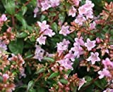 Abelia x grandiflora Edward Goucher - Glossy Abelia 3 Plants in 9 cm Pots