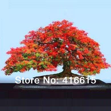 30 Delonix Regia Bonsai Seeds- Royale Poinciana - Flamboyant Tree - Arbre exotique Graine