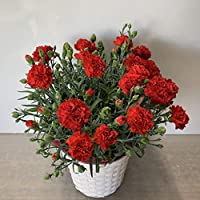 2021 Mother's Day Gift Potted Carnation (SHOP Maruhana)