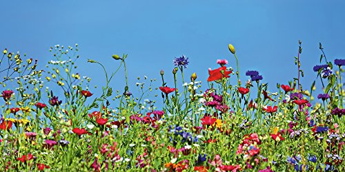 Artland Qualitätsbilder I Wandtattoo Wandsticker Wandaufkleber 150 x 75 cm Botanik Blumenwiese Foto Blau D5OT Blumenwiese