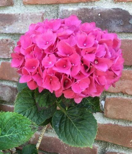 5 rosa ortensia semi perenne Hardy Giardino Arbusto Fioritura della pianta del fiore Yard Bush