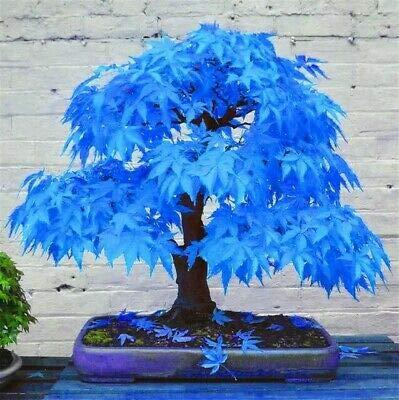PLAT FIRM Germinación de Las Semillas: Cielo Azul: Semillas 20 Pcs Fuego Azul Amarillo Rojo Raro áRbol de Arce Japonã©s Bonsai