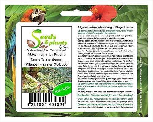 Stk - 1000x Abies magnifica Pracht-Tanne Tannenbaum Pflanzen - Samen XL-B500 - Seeds Plants Shop Samenbank Pfullingen Patrik Ipsa