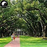 ASTONISH Erstauner SEEDS: Kaufen Baumsamen 60pcs Pflanze Quercus Acuta Baum für Quercus Xiang Shu