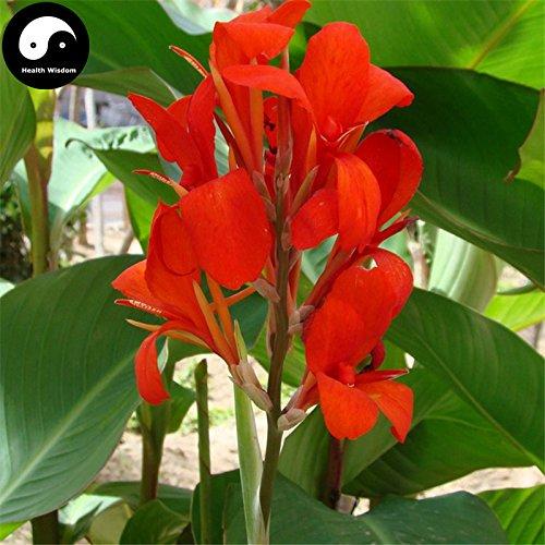 Acheter Canna Indica Graines de fleurs de plante Canna Lily Flower Garden