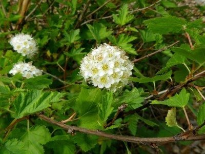 Pixies Gardens (1 Gallon Ninebark - Physocarpus Opulifolius - Produces Clusters of Beautiful Bell-Shaped Flowers with 5 Rounded White Or Pink Petals and Many Stamens.