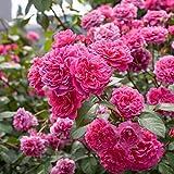 ADOLENB Seed House - 50 Semillas de flores Rare Claire...