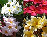 4 Hawaiian Plumeria Plant Cuttings Mixed...