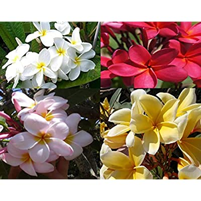 Aussie Confetti FRAGRANT PLUMERIA CUTTING WITH ROOTED 7-12 INCH Registered Track
