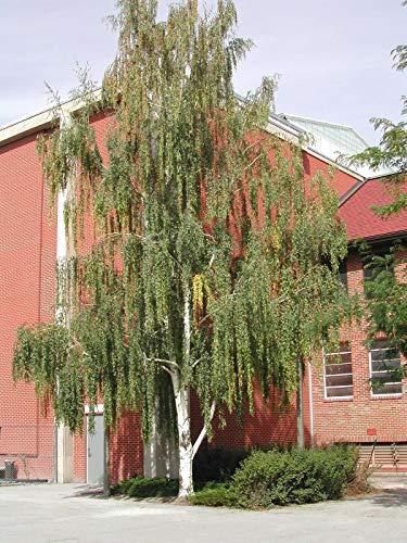 GETSO Samen-Paket Nicht Pflanzen: 300 Samen: Weeping White Birch, (Birke), Betula pendula, Samen (Fast)