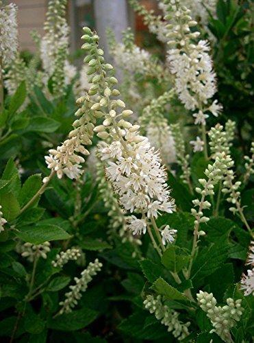 Clethra alnifolia SUMMERSWEET SHRUB Seeds!