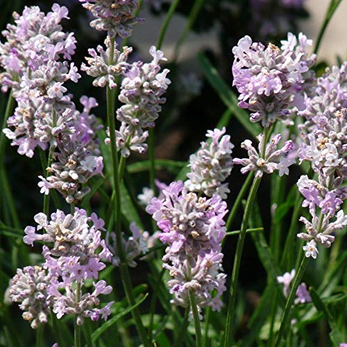 2x Lavendula angustifolia'Rosea' | 2er...