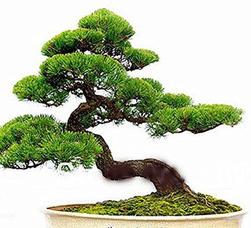 Gérmenes japoneses Negro de árbol de pino - También es bueno para Bonzai