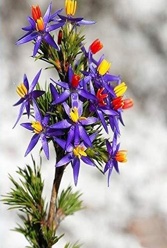 Endangered Rarität Exotische Calectasia Narragara Blaue Lametta Lilie Blumensamen, Zierpflanze Blau Tinsel Lily Bonsai Blumen Topf pflanze für Balcony Courtyard