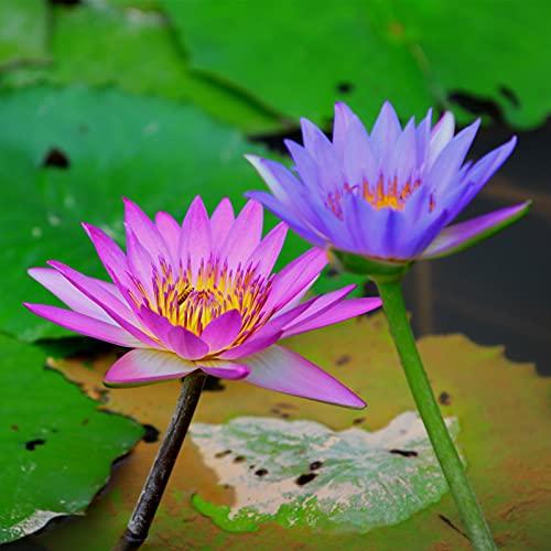 Semillas de frutas de flores 10pcs / bolsa nymphaea colorata semillas fresca perenne fuerte vitalidad rústica ninfaea colorata semillas para patio - Planta de semillas su propio jardín