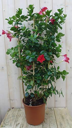 Dipladenia rood 90 cm