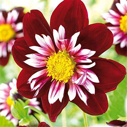 Tom-Garten Kebol Halskrausen-Dahlie \'Night Butterfly\', Dahlia, Blumenzwiebeln, bienenfreundlich