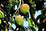 Mango Mangifera indica Pflanze 5-10cm Mangobaum Obstbaum Obstpflanze Rarität