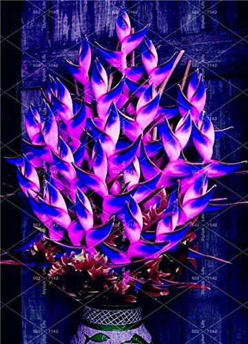 HONIC Einfach 100 Stück Heliconia Bonsai Rare Farbe Sucuulent Pflanze, falscher Paradiesvogel Indoor Bonsai-Pflanzen-Blume Flores, zu wachsen: 1