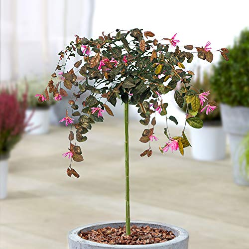 Loropetalum Chinense Fire Dance Tree | Evergreen Patio Trees for Small Gardens | Straight Standard Stem | Ornamental Garden Plants | 2-3ft (70-80cm (Incl. Pot))