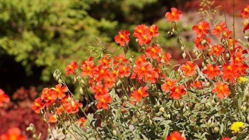 Sonnenröschen 50 Samen, (Helianthemum) Mischung