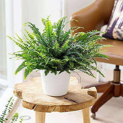 "Nephrolepis exaltata \""Green Lady\"" | Farn Zimmerpflanze | Luftreinigende Zimmerpflanzen | Zimmerpflanzen für Schatten | Indoor plants | Höhe 30-35 cm | Topf-Ø 12 cm"