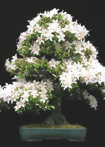 Tropica - Bonsai - Felsenkirsche (Prunus mahalep) - 30 Samen