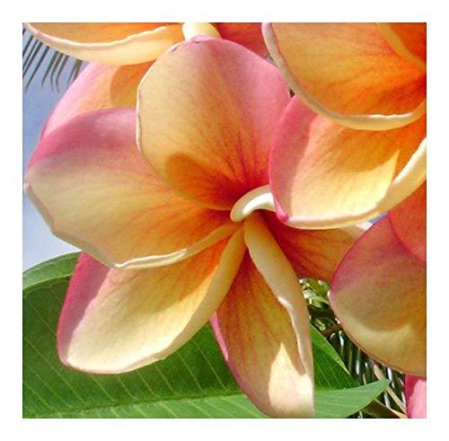 SANHOC Samen-Paket: Plumeria Jupiter - Frangipani - 3 SeedsSEED