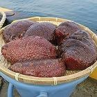 富山湾産  赤ナマコ 1k 生きたままお届けします♪