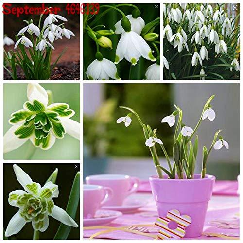 GETSO New 100PCS Galanthus nivalis Bonsais Schneeglöckchen Blumen-Bonsais seltene exotische Pflanzen kältebeständigem Nivalis Semillas De Plantas De