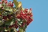 Schwedische Mehlbeere Sorbus intermedia 45 Samen