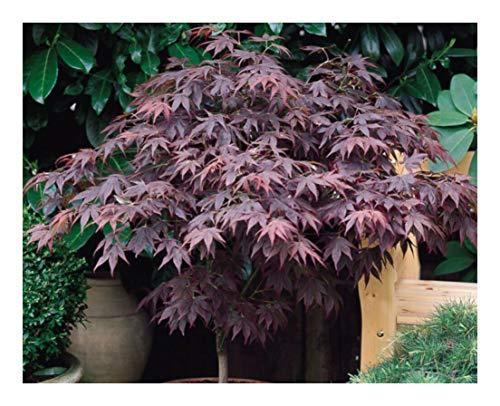 Acer palmatum Atropurpureum-Japanese Maple Plant in 7.5' Pot