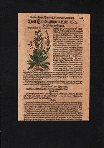Hundszungen Cynoglossum herbs Herbal Kräuter Kräuterbuch Mattioli