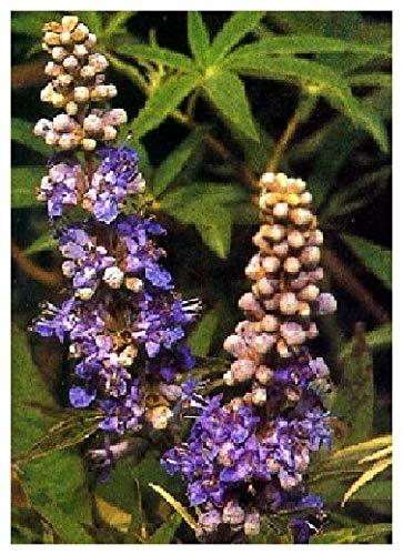 TROPICA - Vitex agnus-castus (Vitex agnus-castus) - 50 Graines