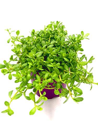 Brahmi Pflanze die Gedächnisstütze Bacopa monnieri Kräuter Pfanze 3stk.