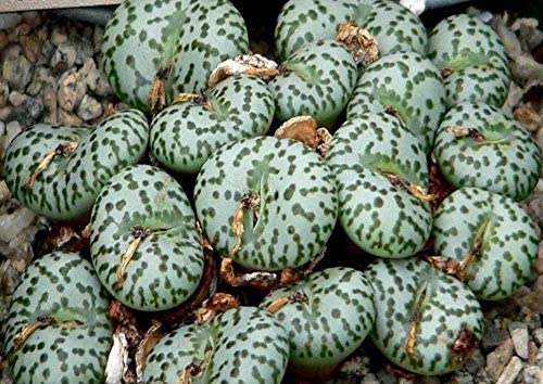 TricaStore 67% OFF of fixed price Latest item _ Conophytum obcordellum E v. Rare mesemb
