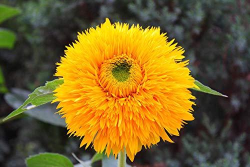 200 semi YeGarden Flower Teddy Bear Girasole SEMI-NANO