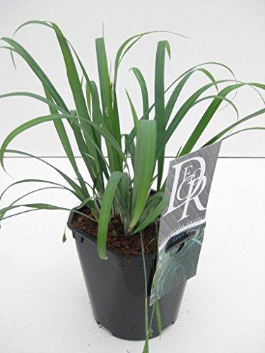Blaue Gräser Bodendecker - Japan Segge - Carex laxiculmis 'Bunny Blue´ - verschiedene Größen (40-50cm - 2 Ltr.)