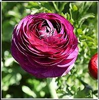 ラナンキュラス 球根,園芸植物球根,現在販売中,ちょっとかわいい、可愛い、 翡翠と花のように、友達に送ることができます、,装飾-5球根-5球根