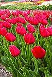 Willard & May Red Tulips Darwin Hybrids (25 Bulbs) - Red Van Eijk Tulip Bulbs - Perennial Bulbs