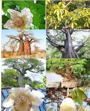 Frais Adansonia digitata Rare Baobab (bouteille Bonsaï exotique des semences de floraison) 10 graines