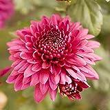 Dalias bulbos,FloracióN Larga Hermosa Y Hermosa FloracióN,Preciosa Planta Perenne-1,5bulbos