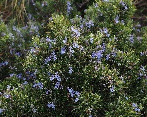 Rosmarin officinalis 6 Stück winterharte Aroma-Staude Heckenpflanze Bodendecker T9x9