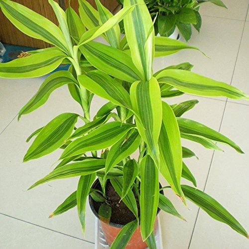 Stevia Herbes Graines Stevia rebaudiana Graines vert Herb Semillas chrysanthème feuille douce pour la maison des semences Jardin des plantes