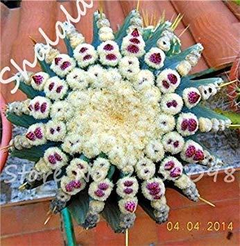 Nouvelle arrivee! 20 Graines frais Succulent Cactus boule Graines, variété de couleurs, Intérieur aérobie Potted haute Germination Graines de fleurs 9